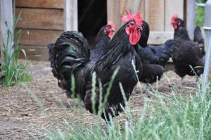 poule-noire-du-berry