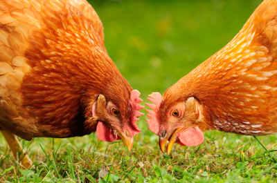 graines pour poules